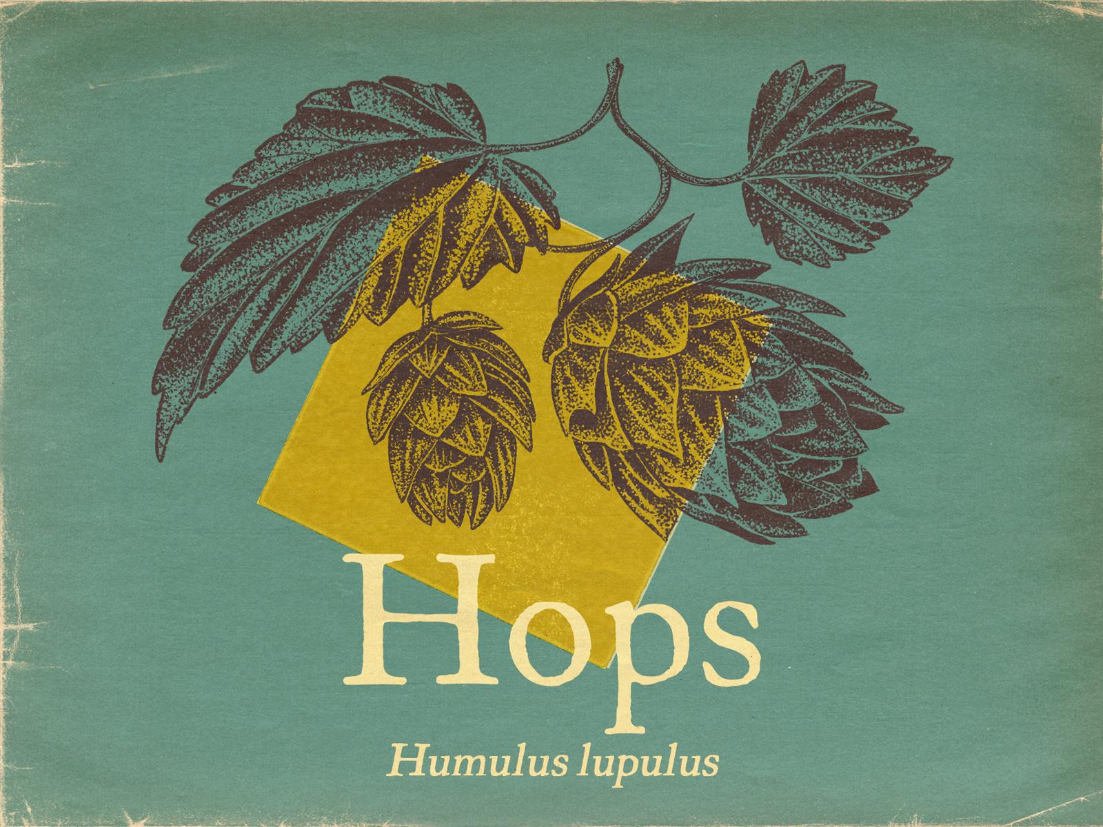 portfolio – botanicals – hops